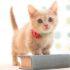 Манчкин: цена кошки-таксы