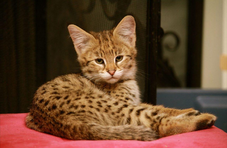 Котята ашера – дети саванны