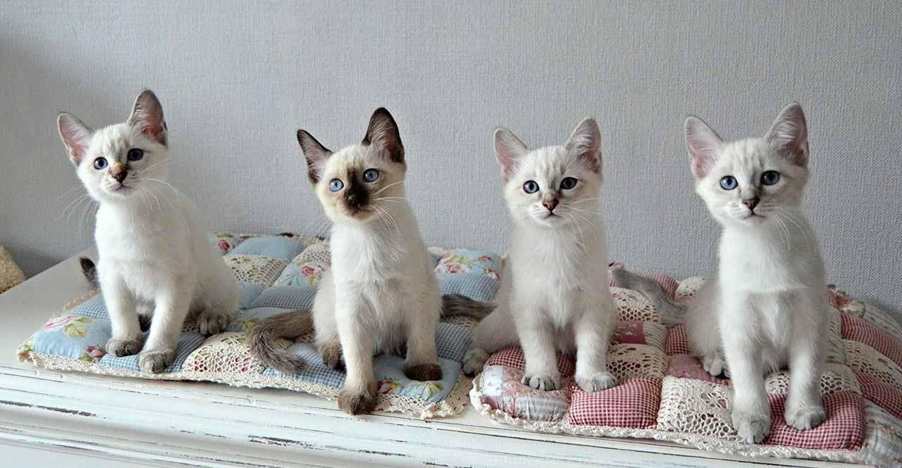 Сколько стоят тайские котята
