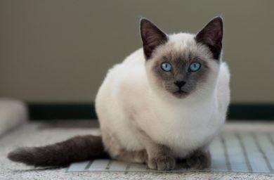 Сколько живут тайские кошки в домашних условиях