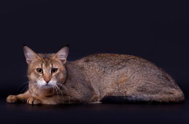 Смотреть породу кошек чаузи