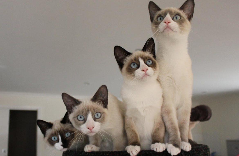 Порода сноу-шу: фото кошек в снежных туфельках