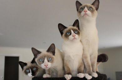Кошка сноу шу: фото, цена