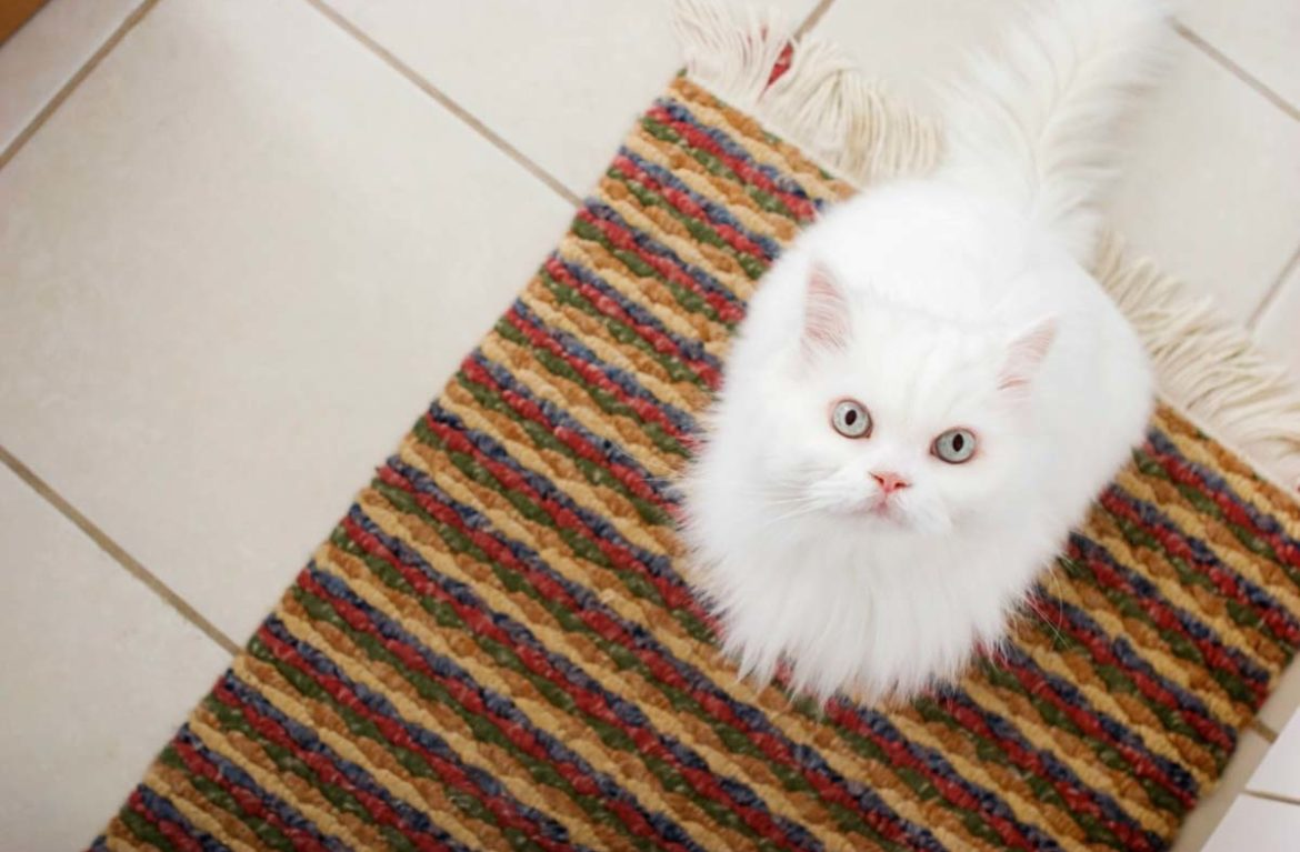 how to remove pet pee smell from carpet