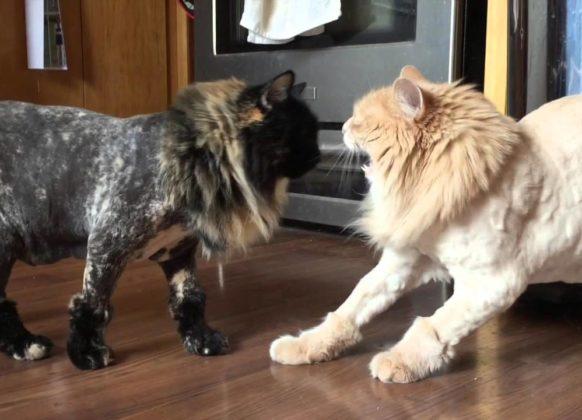 Стрижка кошек под льва: фото
