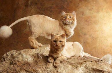 Стрижка кота «лев»: фото
