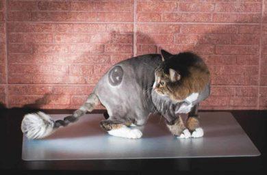Фото модельных стрижек для кошек