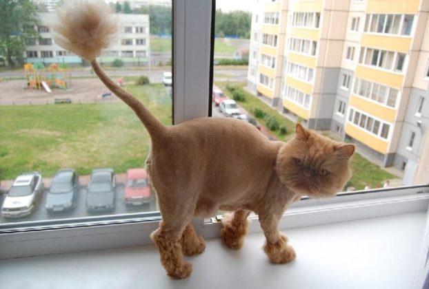 Фото стрижки для персидских котов