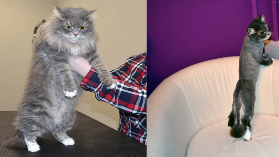 Стрижки кошек фото до и после