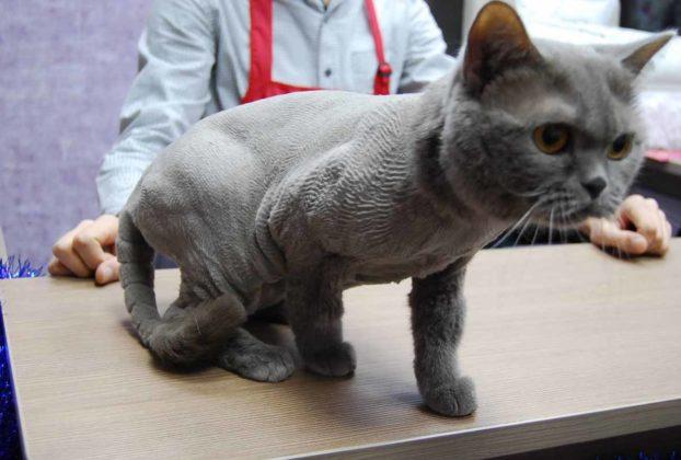 Стрижки котов британцев: фото