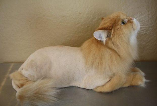 Фото стрижки котов персов