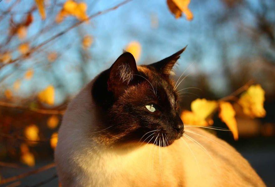 Тайская кошка: фото