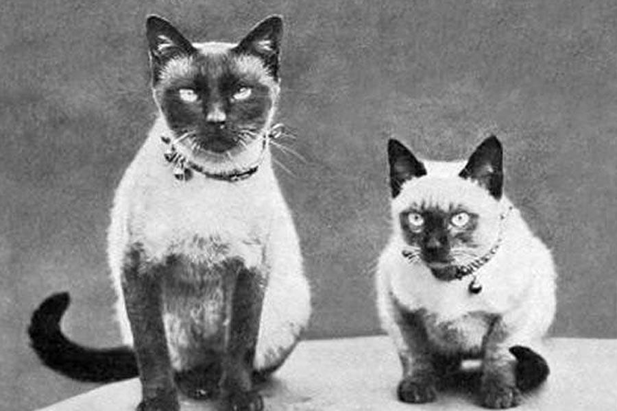 Потомки тайской кошки