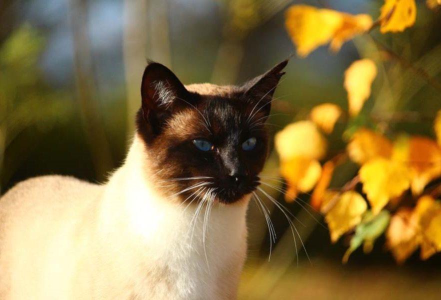 Тайская кошка: фото и описание