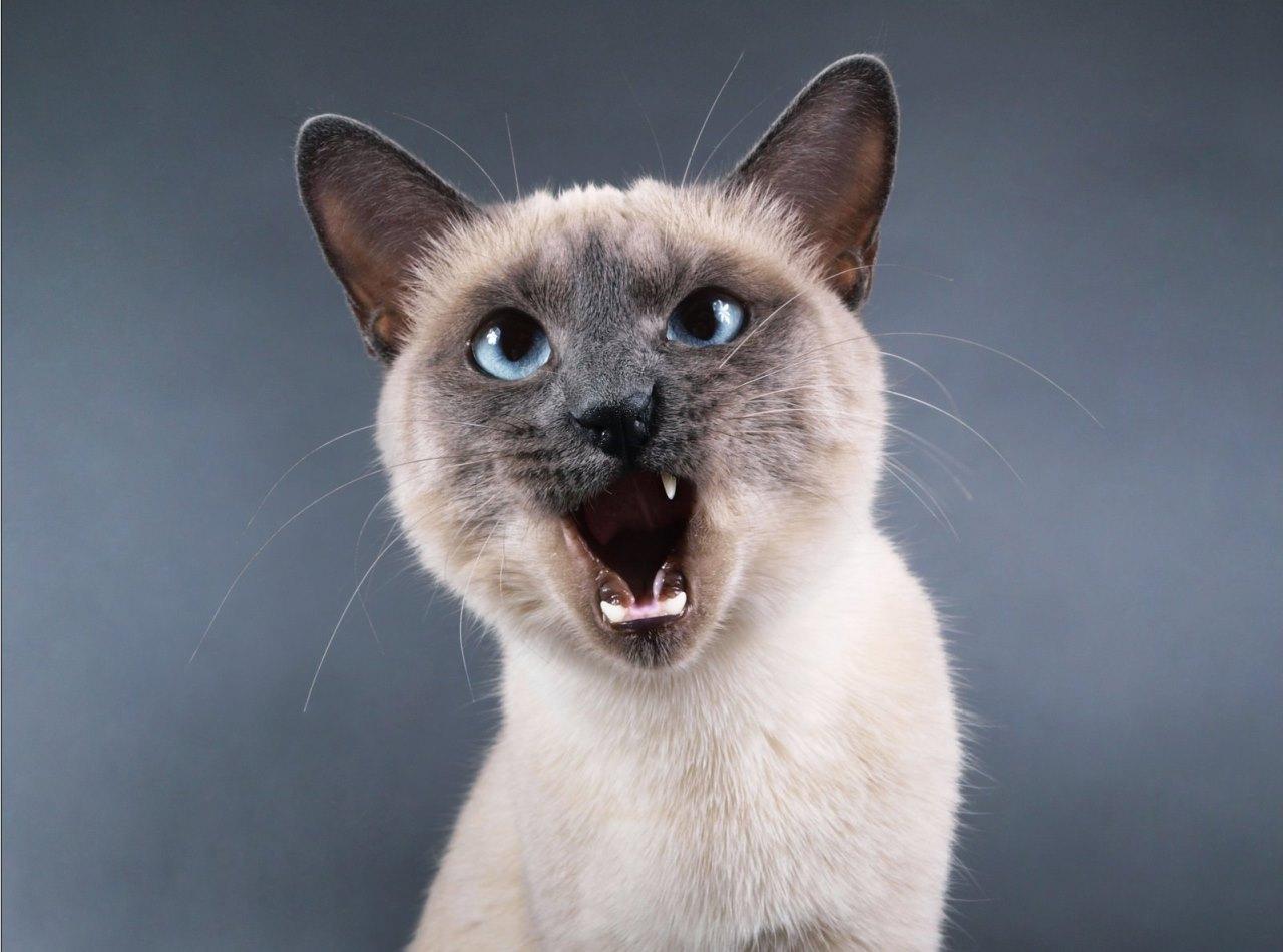 Тайская кошка: достоинства и недостатки характера
