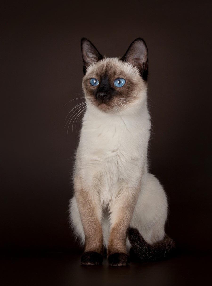 Тайская кошка и сноу шу