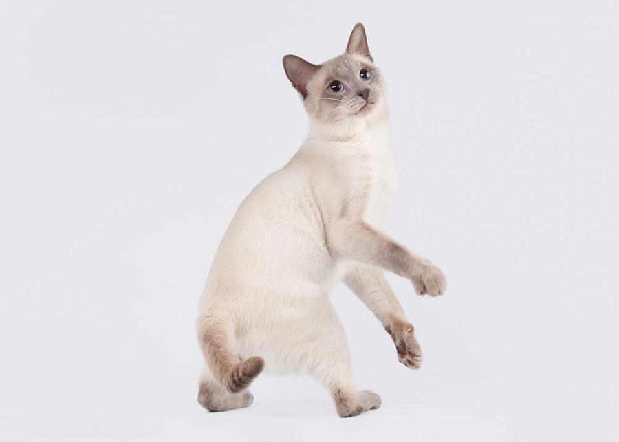 Тайская порода кошек: фото