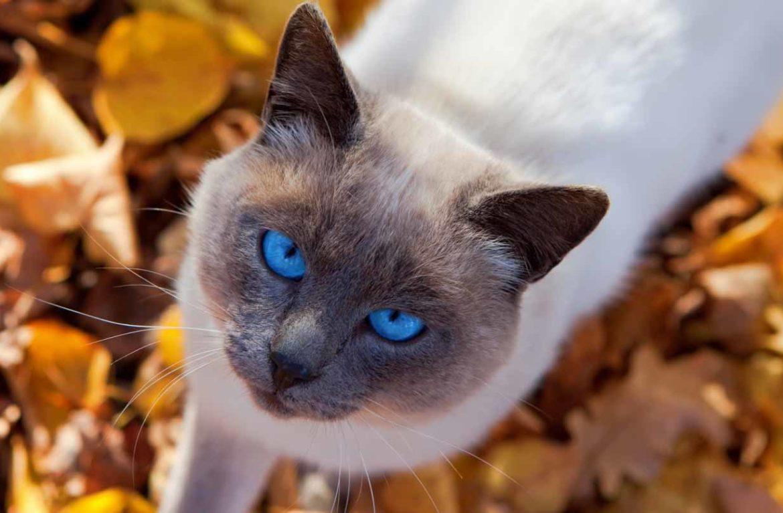 Тайский кот: фото сокровища правителей Таиланда