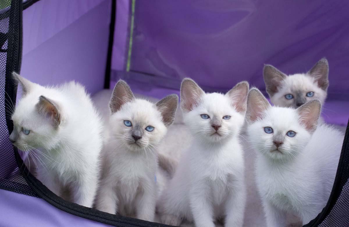 Тайские кошки: особенности породы