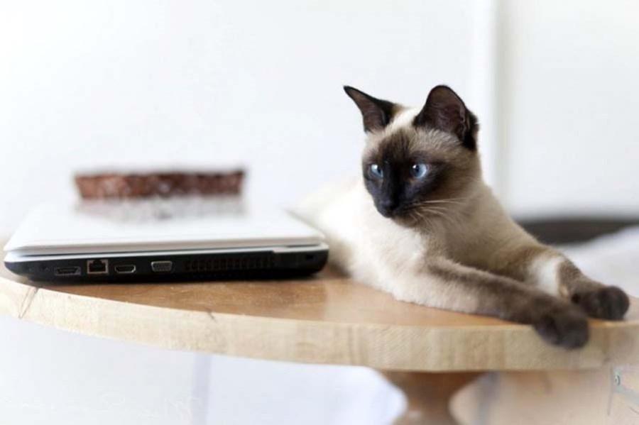 Тайский кот: фото