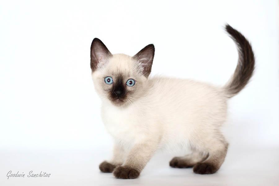 Фото тайского котенка в 2 месяца
