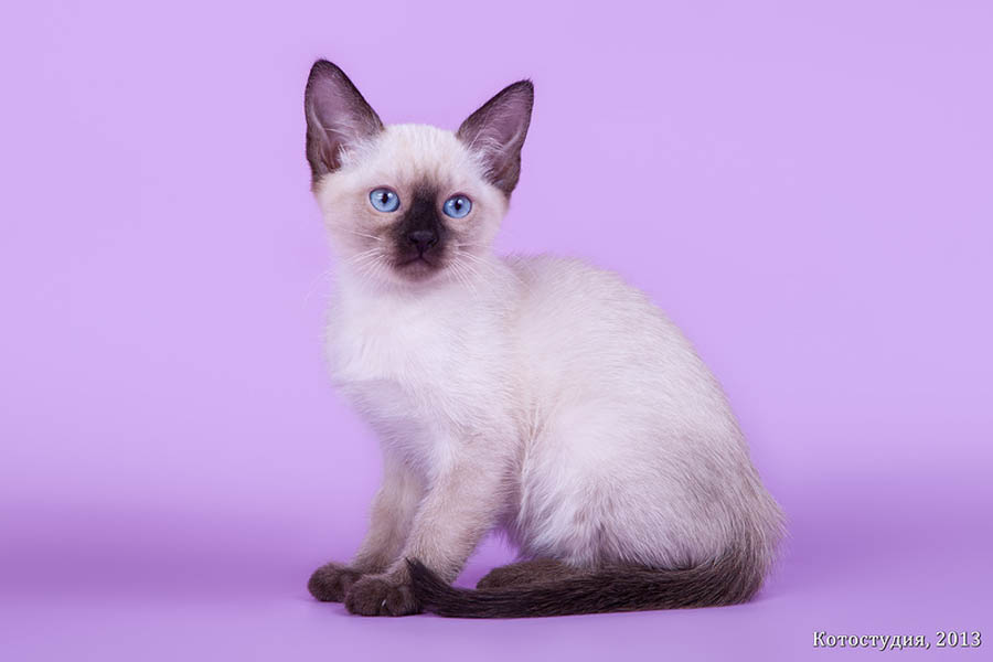 Фото тайского котенка в 3 месяца