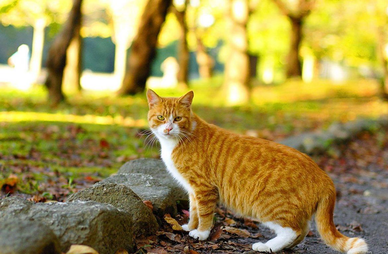 Территориальное поведение кошек: что скрывает обычная прогулка?