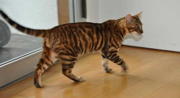 Фото кошки тойгер