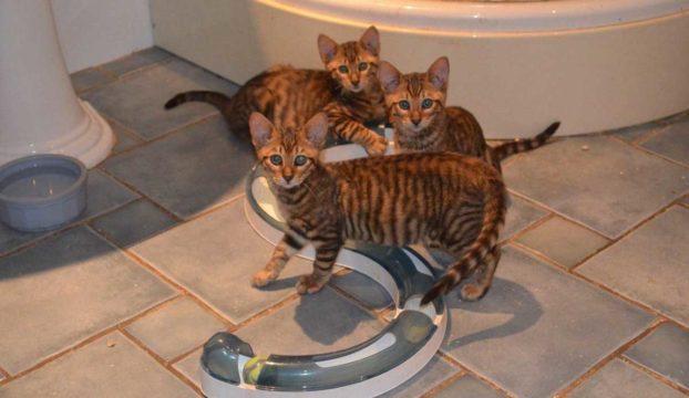 Котята тойгер: фото