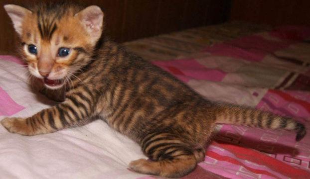 Фото котенка тойгер