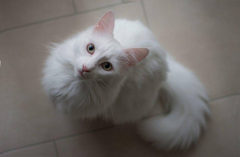 Кошка турецкая ангора: фото спутницы королей