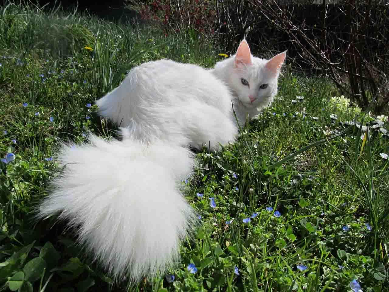 Турецкая ангорская кошка: фото