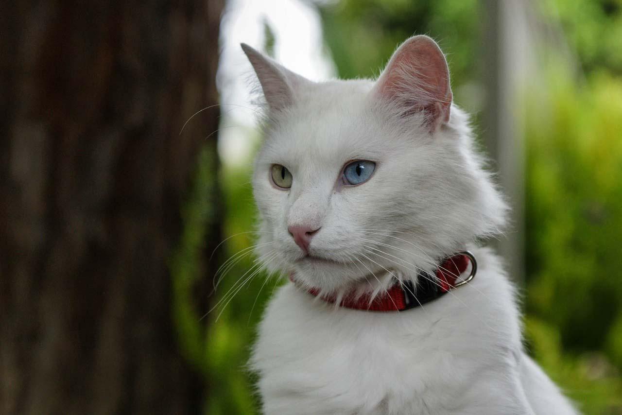 Белый кот разные глаза  № 2956499 без смс