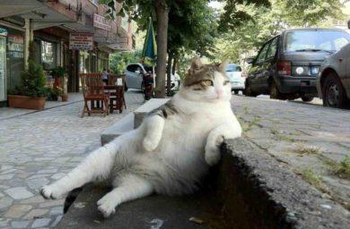 Турецкий кот Томбили