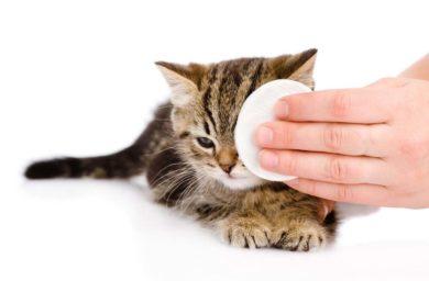 У кошки гноятся глаза: чем лечить