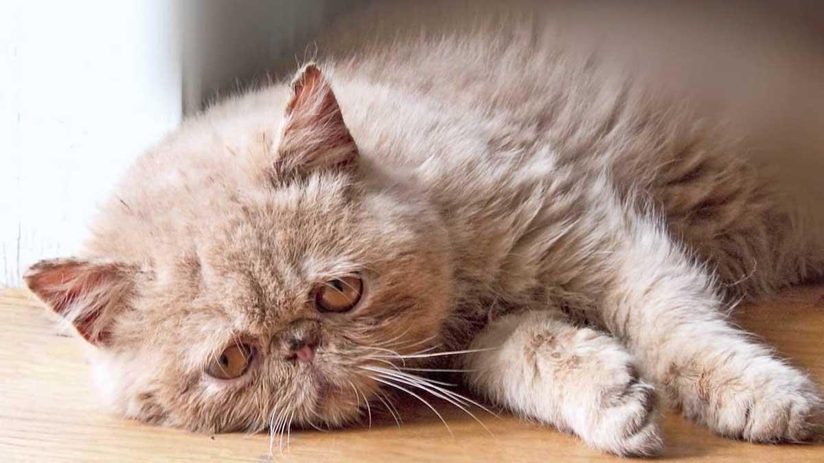 У кошки гноятся глаза: лечение
