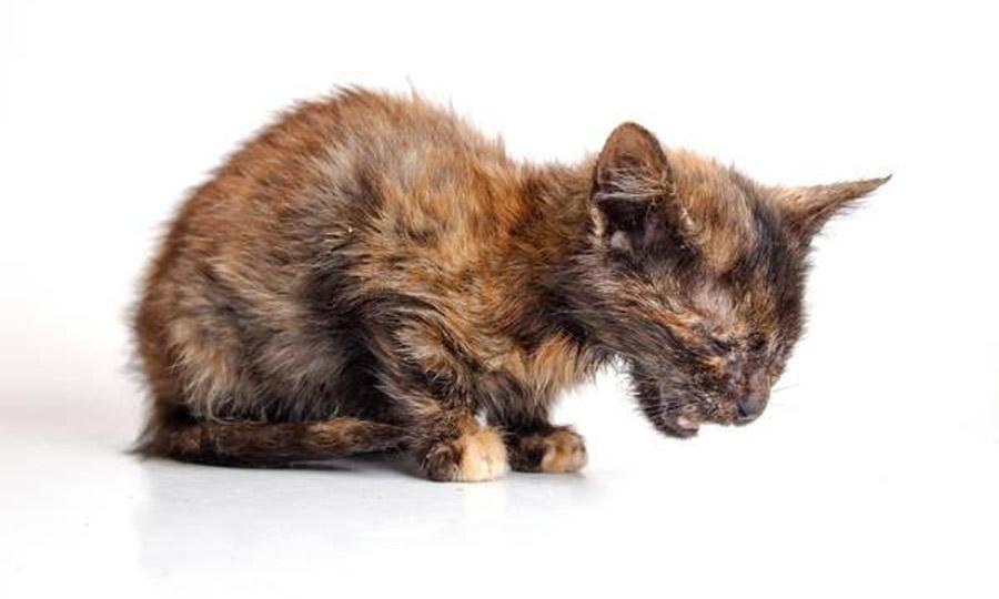 Кот насморк хронический