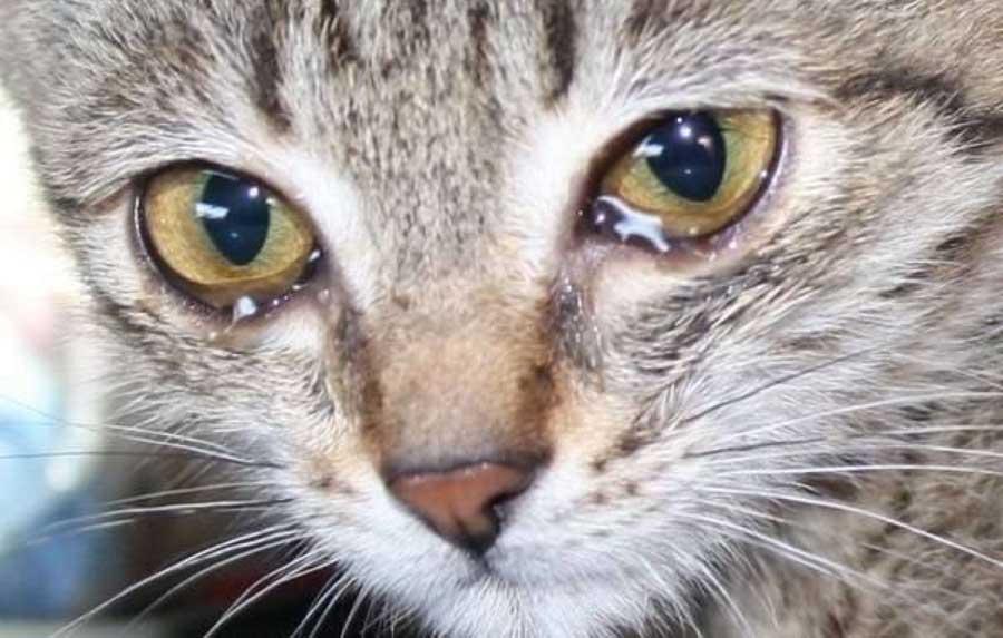 У кота из глаза белый гной