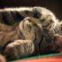 У кошки насморк, и она чихает: как лечить?