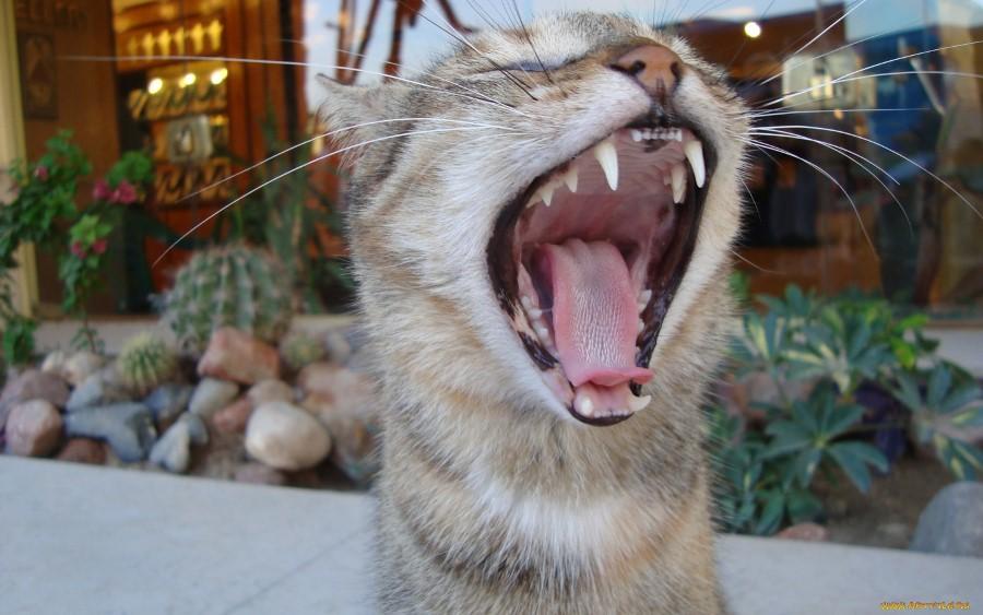 Удаление зубного налета у кошек