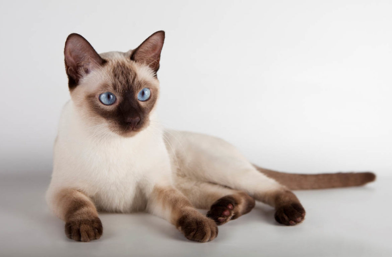 Уход за тайскими кошками: восточный кот не требует хлопот