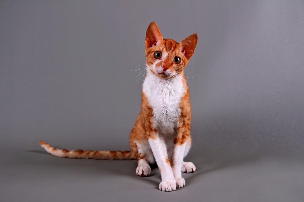 Фото уральской кошки