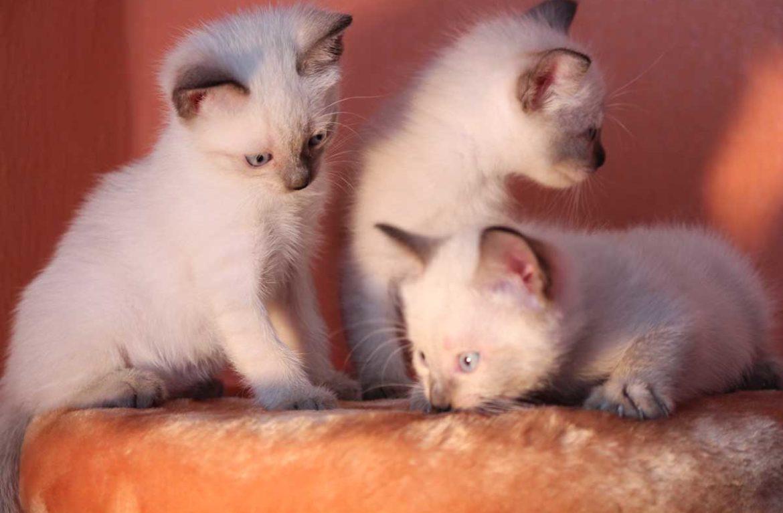 Какой в норме вес тайских котят?