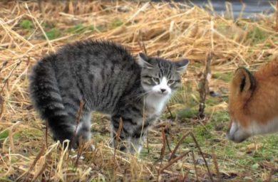 Видео кошка против лисы