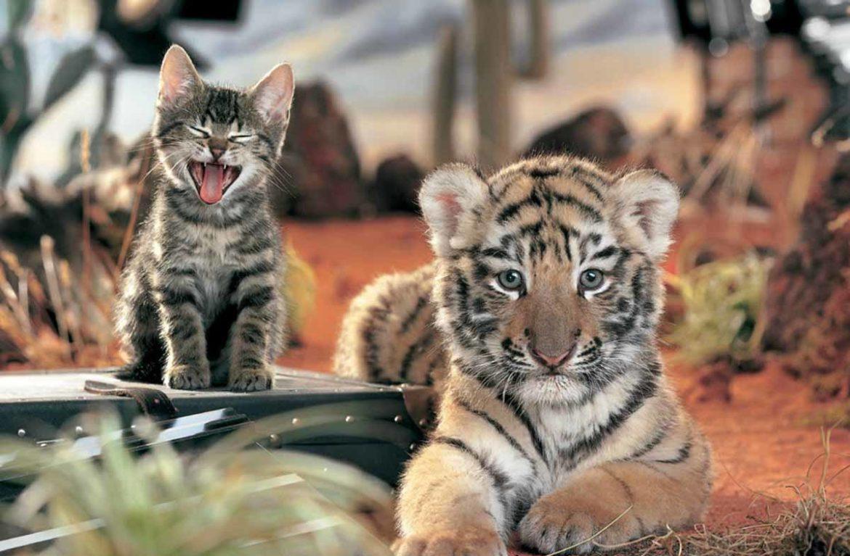 Поединок года на видео: кот-боксёр бьёт тигра!