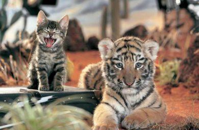Видео кот-боксер бьет тигра