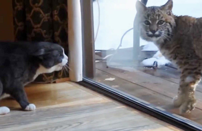 Кот рысь видео