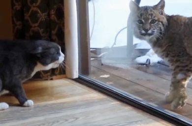 Видео кот и рысь