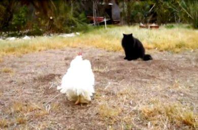 Видео кот против петуха