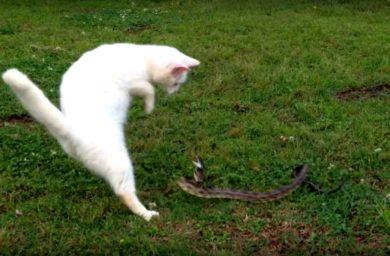 Видео кот против змеи